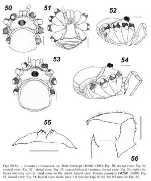 Jussara aurantiaca 18