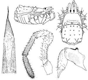 Ceratolasma tricantha by Gruber 1978b