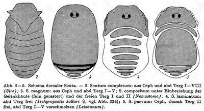 Dorsal scuta by Martens 1978