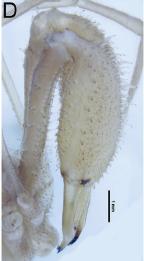 Forsteropsalis photophaga T+P-2014-D
