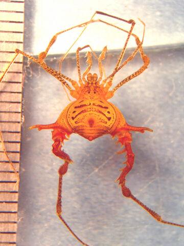 File:Ubatubesia rabelloi MNRJ 5647 male 500 px.jpg