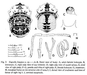 Gagrella longipes Suzuki-1982e