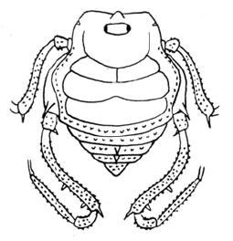 Glysterus laeviscutatus Roewer-1943