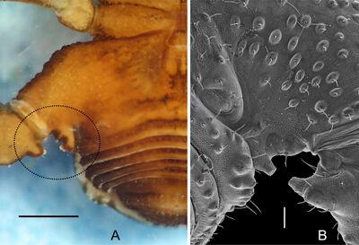KURY - Cladistics Tricommatinae Figure 10 of 33