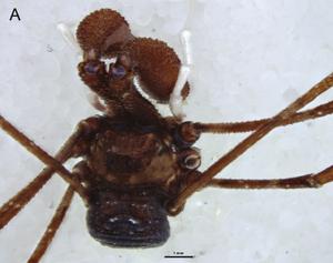 Pantopsalis cheliferoides Colenso-1882-A