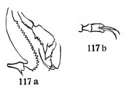 Metahyamus bicolor Roewer-1935a