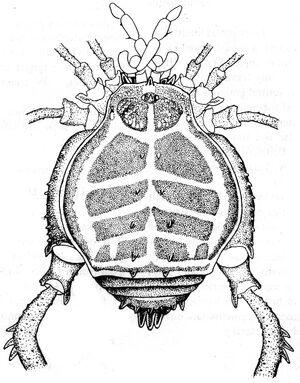 Mysorea thaiensis Suzuki, 1985
