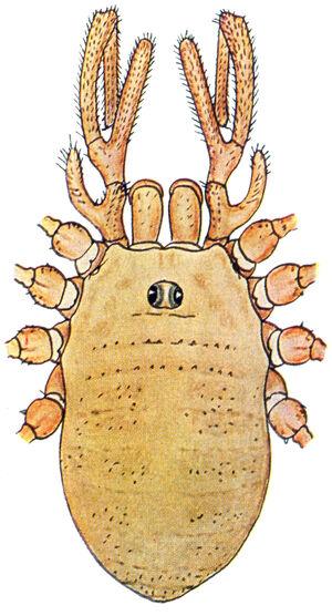 Dicranopalpus gasteinensis Doleschal, 1852 by Silhavy 1956a