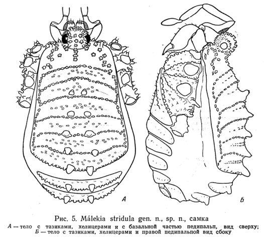 File:Giljarovia stridula (Kratochvíl, 1959).jpg