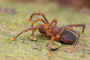 Podoctidae 2 - Singapore by Nicky Bay