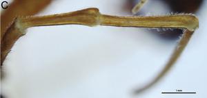 Forsteropsalis bona T+P-2014-C