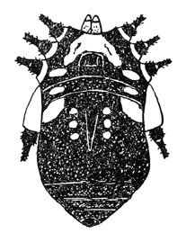 Gagrellula albifrons