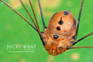 Gagrellinae - Singapore by Nicky Bay