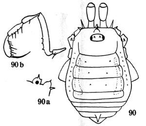 Binderella bistriata Roewer 1935a