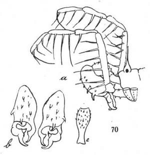 Opelytus vepretum Roewer-1927a