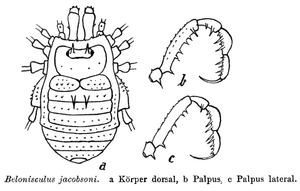 Belonisculus jacobsoni Roewer-1923