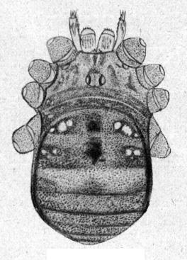 Hologagrella reticulata