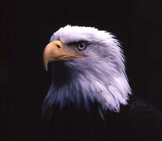 File:Main-eagle.jpg