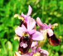 Ophrys × inzengae