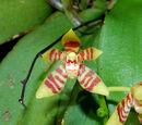 Pteroceras simondianum