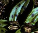 Cypripedium forrestii