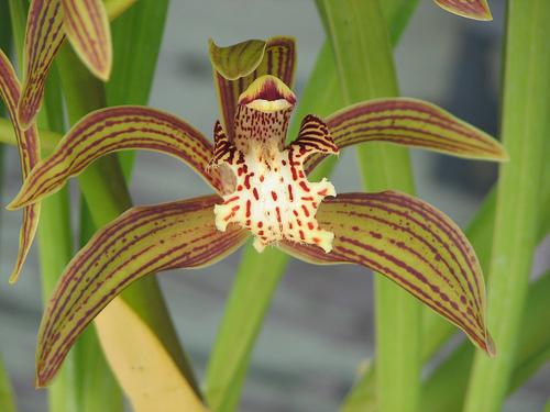 Cymbidium Tracyanum Orchids Wiki Fandom Powered By Wikia