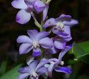 Rhynchostylis coelestis