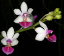 Phalaenopsis Anna-Larati Soekardi