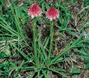 Gymnadenia corneliana