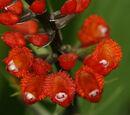 Elleanthus oliganthus