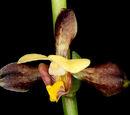 Eulophia stenopetala