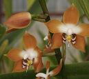 Neomoorea wallisii