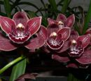 Cymbidium Vogel's Pass