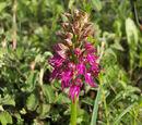Orchis × bivonae