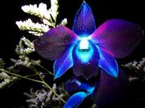 Allutherianorchid