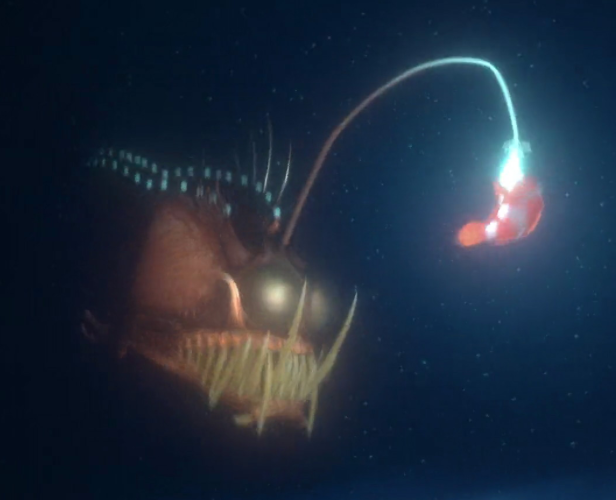 Image marlin fighting the heroes wiki for Angler fish size