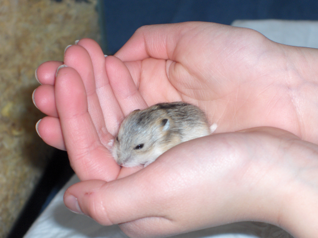 File:Baby Hamster by TeethThatMayBite.png