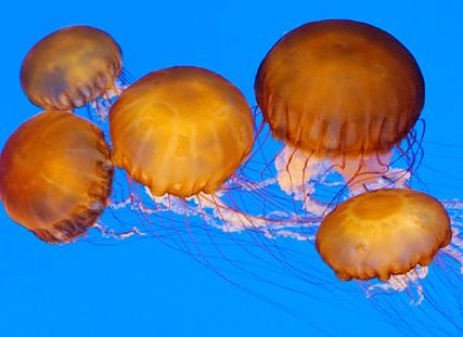 File:Sea nettles.jpg