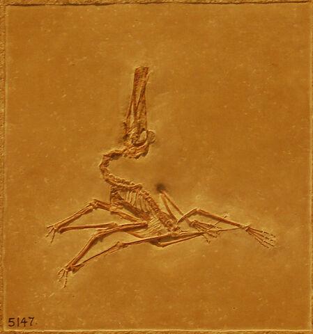 File:Pterodactylus1.jpg