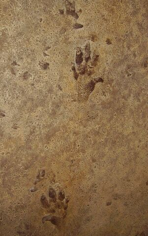 File:Cheirotherium prints (possibly Ticinosuchus).jpg