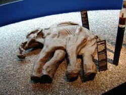 Mammuthus primigenius baby Dima Luzern