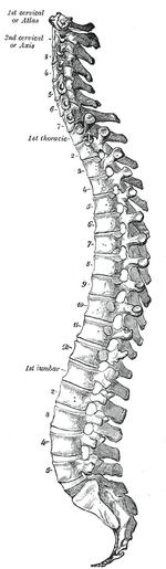 Gray 111 - Vertebral column