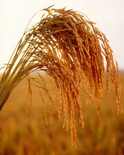 US long grain rice