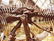 Edmontosaurus pelvis left