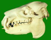 Pygmy Hippopotamus Skull