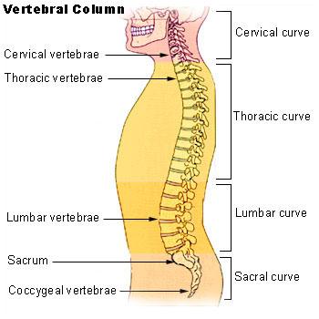 File:Illu vertebral column.jpg
