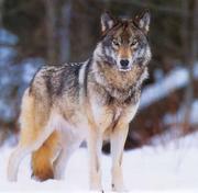 Dantewolf