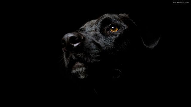 File:Black-dog-wallpaper-144.jpg