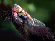 Northern-bald-ibis img01-l