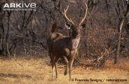 Male-sambar-deer-walking